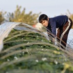 Ten-year old Saad Abukhussa helps cover strawberry beds for the night on his familiy's farm in Beit Lahia in the northern Gaza strip. After several years of blocking strawberry exports, in late 2010 Israel began permitting limited exports of strawberries from the Gaza strip, destined for European markets.