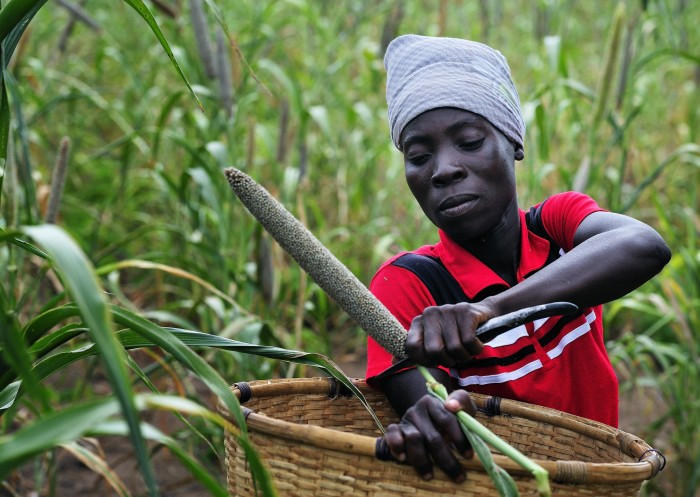 """Cecilia Richard, 33, harvests millet in Captain, a village in southern Malawi that has been hard hit by drought in recent years, leading to chronic food insecurity, especially during the """"hunger season,"""" when farmers are waiting for the harvest. Photo: Paul Jeffrey"""