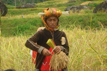 Farmers in Indonesia have learned to reap more rice with less seed through the System of Rice Intensification (SRI) training they received as part of their disaster risk reduction work. Photo: Pusbinlat Motivator-GT