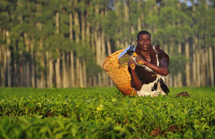Image showing tea plantation in Malawi